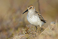 Western Sandpiper (Calidris mauri). Yukon Delta National Wildlife Refuge, Alaska. May.