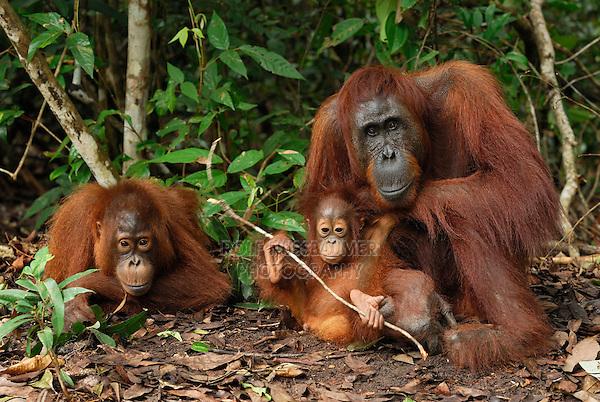 Borneo Orangutan (Pongo pygmaeus), female with a baby, Camp Leaky, Tanjung Puting National Park, Kalimantan, Borneo, Indonesia