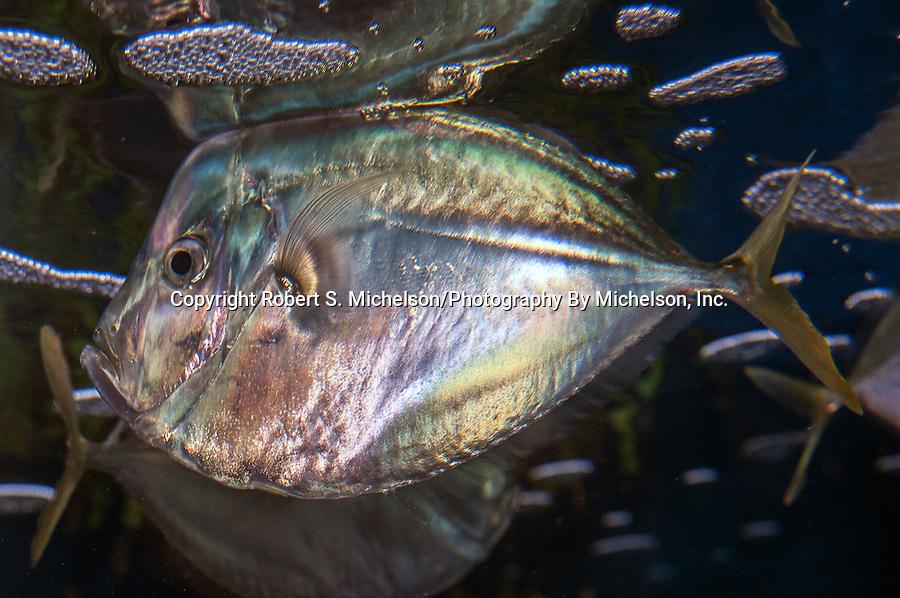 Atlantic Moonfish swimming left near the surface