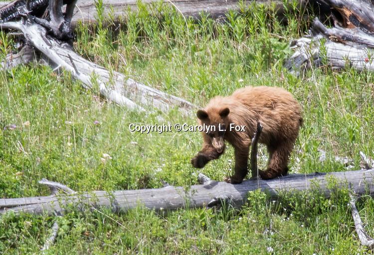 A cinnamon colored black bear cub walks on a downed tree.
