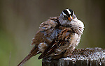 White-crowned sparrow, Zonotrichia leucophrys, California