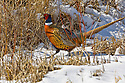 00890-035.05 Ring-necked Pheasant rooster is on the edge of heavy cover during winter.  Hunt, male, color, snow, survive.  H6L1