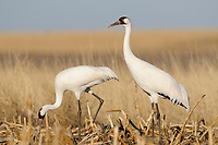 Adult Whooping Cranes (Grus americana) from the wild population foraging in a corn field during spring migration. Central South Dakota. April.