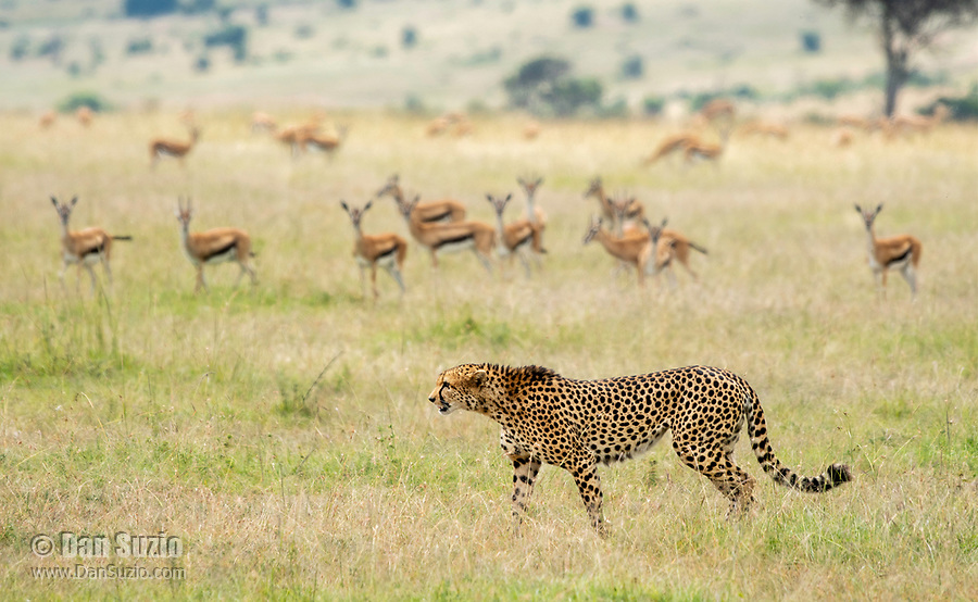 A Cheetah, Acinonyx jubatus jubatus, walks past a wary herd of Thomson's Gazelles, Eudorcas thomsonii, in Maasai Mara National Reserve, Kenya