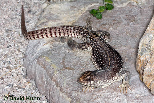 1119-0804  Desert Iguana, Dipsosaurus dorsalis © David Kuhn/Dwight Kuhn Photography