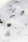 New England cottontail rabbit foot print in fresh snow.  The two foot prints in the background are his hind legs, and the print in the foreground, his front leg.