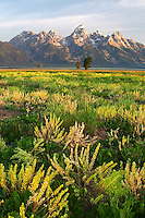 Wildflower meadow below the Grand Teton in early morning, Grand Teton National Park, Teton County, Wyoming, USA