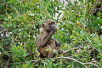 Young Savanna Baboon or common baboon (Papio cynocephalus) Serengeti National Park, Tanzania.