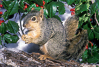 Cute Eastern fox squirrel, Sciurus carolinensis, perched on branch eating nut surrounded by holly with berries in the snow