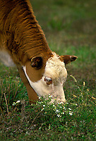 White face calf Gelbieh eating flowers in pasture Midwest USA