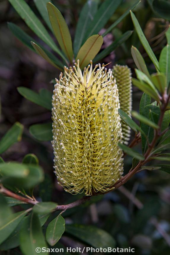 Banksia integrifolia; Australian shrub flowering at Wild Ridge Organics
