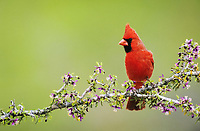northern cardinal, Cardinalis cardinalis, male on blooming guayacan, Guaiacum angustifolium, Starr County, Rio Grande Valley, Texas, USA, North America