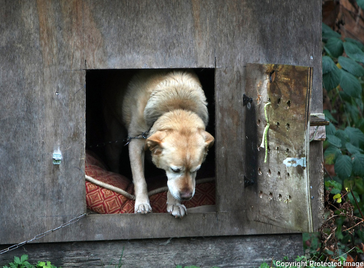 Yeller is a yellow lab who is kept outside continuously on a long chain in Redmond,Wash. on December 9, 2008.  At night his owners shut him in his doghouse so he doesn't bark at the deer and bear all night. (Karen Ducey/Seattle Post-Intelligencer)
