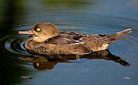 Yellow eye duck
