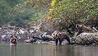 Grizzly bear cubs find a meal.