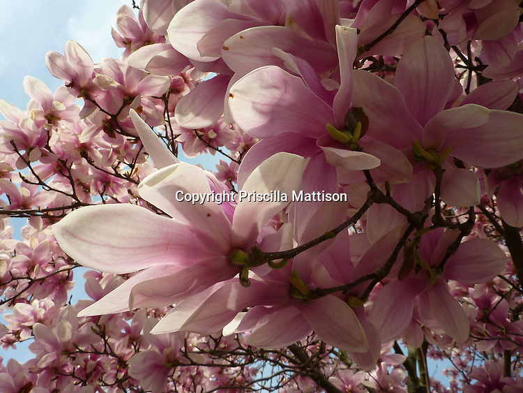 Closeup of pink magnolia blossoms
