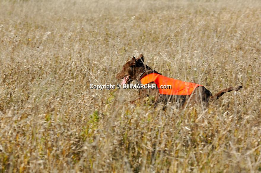 00975-014.17 Labrador Retriever: Chocolate Lab wearing orange vest is bounding through cover as it hunts.  Action, CRP.