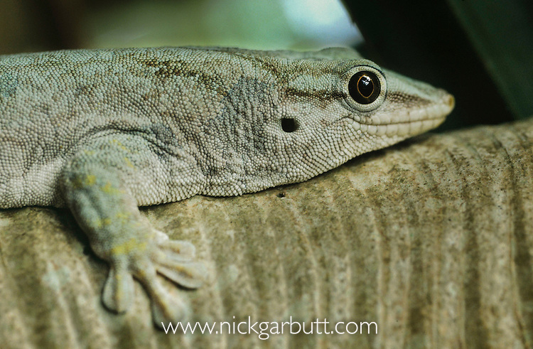 Round Island or Gunther's Gecko (Phelsuma guntheri) on Round Island, Mauritius, Indian Ocean.