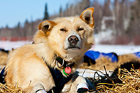 Portrait of Robert Nelson Jr.'s dog *Scamper One* resting at Galena in Interior Alaska during the 2010 Iditarod