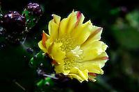 Feigenkaktus (Opuntie) Opuntia ficus-indica , Sardinien, Italien