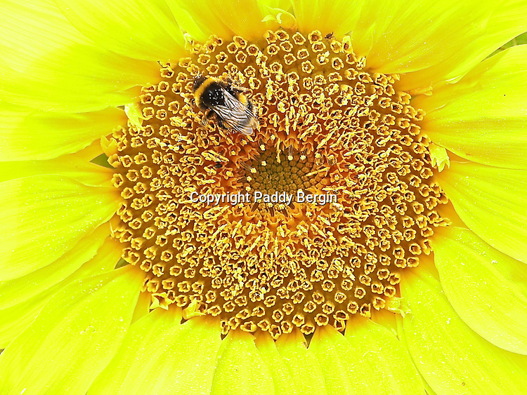 This photograph of a Bee feeding on a Sunflower was taken in Cheshire Fields Allotments which are in Walthamstow, London E17. It's not my allotment plot but a friends and the pictures were made over a period of 3 years. People who work plots there have a love for growing produce, their own produce and in good soils fed by regular deliveries of horse manure from the Horse Riding School in the Leabridge Road.<br /> <br /> Most plots also have various flowering plants which come into bloom at different times of the year so there is always colour around and usually with bees buzzing and collecting pollen from the flowers.<br /> <br /> I think another quality and passion allotment people have is their ability to use pretty much anything and recycle it to make greenhouses or sheds, fruit cages and compost bins. I'm a pretty good compost bin maker now and we recently discovered a scaffolders yard just down the road who are always trying to dispose of worn out scaffolding boards. <br /> <br /> Stock Photo by Paddy Bergin