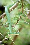 Battersby's Green Snake (Philothamnus battersbyi) in Acacia bush. Tarangire National Park, Tanzania.