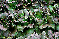 HS21-448x  Lettuce - Cardinale variety