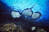 Marble Rays ( Taeniura meyeri ) underwater off Cocos Island, Costa Rica.
