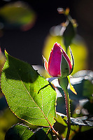 A single pink rosebud and leaf with soft background.  Includes copy space.