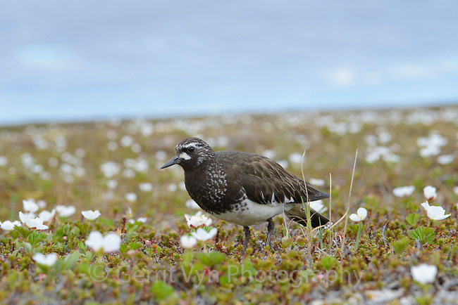 Black Turnstone (Arenaria melanocephala) and blooming salmonberry. Yukon Delta National Wildlife Refuge, Alaska. July.