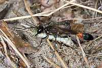 Gemeine Sandwespe, mit erbeuteter Raupe, Schmetterlingsraupe, Ammophila sabulosa, Red-banded Sand Wasp, sand digger wasp, Grabwespe