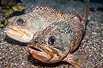 Blackbelly Rosefish 2 shot