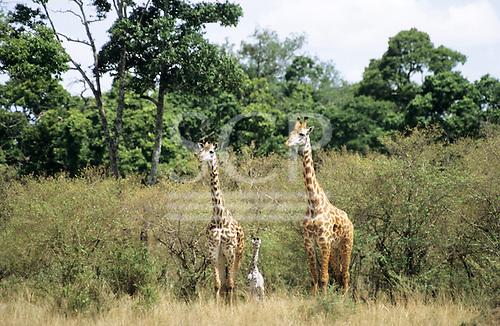 Maasai Mara, Kenya. Pair of giraffe (Giraffa camelopardalis) with young baby on the plains.