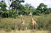 Maasai Mara, Kenya. Pair of giraffe (Giraffa camelopardalis) with young baby on the plains.