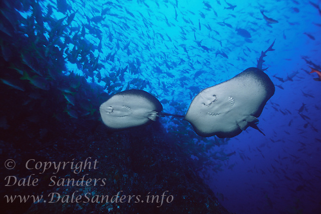 Marble Rays ( Taeniura meyeri ) drift past schools of fish underwater off Cocos Island, Costa Rica.