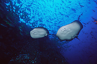 Marble Rays ( Taeniura meyeri ) drift past schools of fish underwater off Cocos Island, Costa Rica.