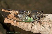 0901-0828  Dog-day Cicada, Tibicen spp.  © David Kuhn/Dwight Kuhn Photography.