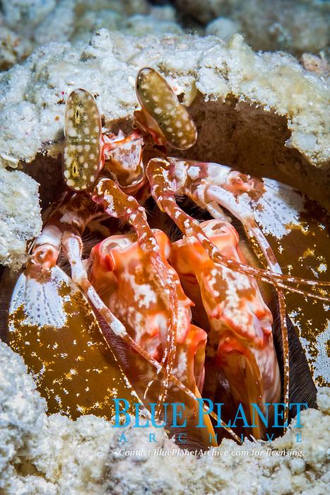 spearing mantis shrimp, lysiosquilla sp. 2