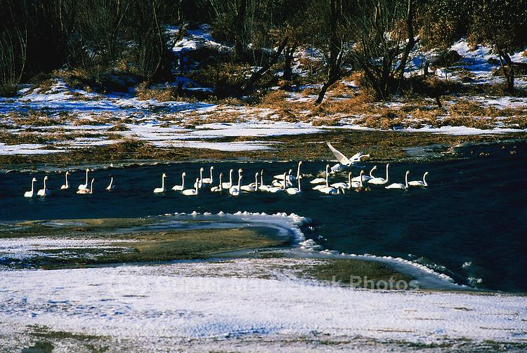 Trumpeter Swans (Cygnus buccinator) in Nicomen Slough, Fraser Valley, BC, British Columbia, Canada