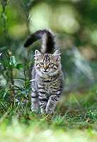 A gray mackeral tabby cat walks in the grass near his home in Port Orange, FL.  (Photo by Brian Cleary/www.bcpix.com)