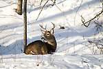 White-tailed deer bedded in the snow