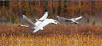 A trumpeter swan family takes off from Potter Marsh in Anchorage, Alaska.