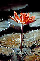 A water lily stands tall in this slightly desaturated interpretation.