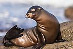 La Jolla, California; a juvenile California sea lion pup resting on the rocky shoreline along the Pacific Ocean, in early morning sunlight
