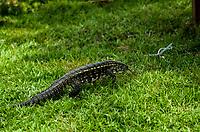 RIO DE JANEIRO,RJ, 01.11.2018 - NATUREZA-RJ - O gênero de répteis Tupinambis, da família Teiidae, é popularmente conhecido como teiú, teju açu, lagartiu, teju, tegu, jacuraru, jacuaru, jacuruaru, jacruaru e caruaru. Compreende os maiores lagartos do Novo Mundo e abrange sete espécies em dois gêneros, todas nativas da América do Sul.Barra da Tijuca, Rio de Janeiro, 01(Foto: Vanessa Ataliba/Brazil Photo Press)
