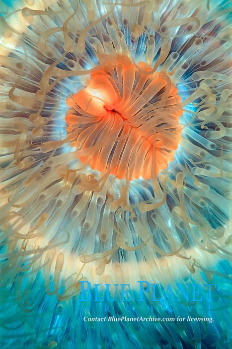 Plumose anemone, Metridium senile, Detail, Sotra, Hordaland, Norway, North Atlantic Ocean