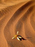 Desert Flower in Namibia