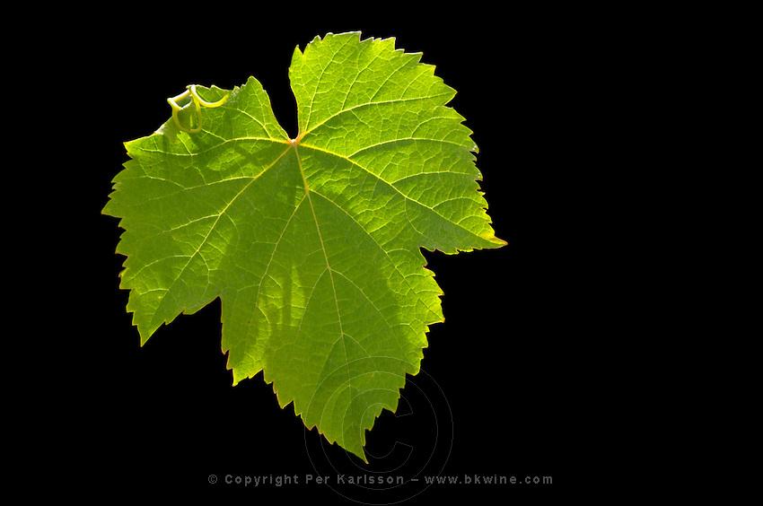 A malbec leaf against a black background  backlit  Chateau Bouscaut Cru Classe Cadaujac  Graves Pessac Leognan  Bordeaux Gironde Aquitaine France