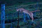 Mountain Lion (Puma concolor) female jumping over ranch fence, Torres del Paine National Park, Patagonia, Chile