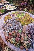 Colorado trough garden of hardy succulents with Sempervivum 'Zephrine'.